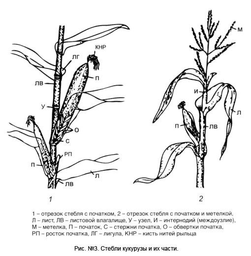 Структура стебля кукурузы.