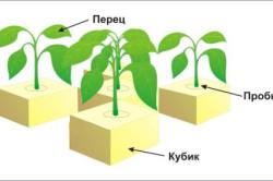Схема выращивания перца в блоках из минеральной ваты.