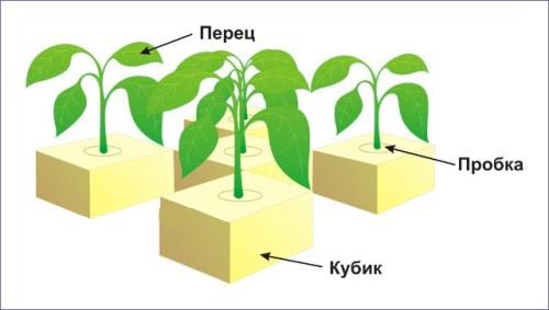 Схема выращивания перца в