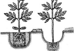 Схема высадки рассады томатов
