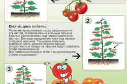 Этапы формирования кустов томатов