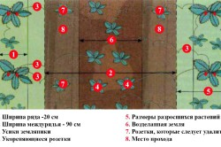 Схема выращивания клубники в открытом грунте.
