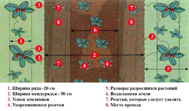 Схема посадки клубники в теплице