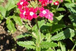 Цветок вербена