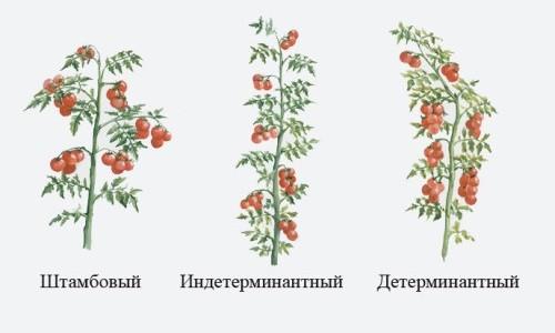 Виды ранних томатов для теплиц