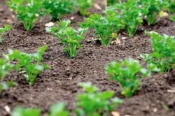 Выращивание петрушки на огороде: посадка и уход