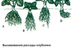 Схема высаживания рассады клубники.
