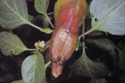 Болезнь болгарского перца