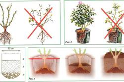 Уход за плетистыми розами: пересадка, выбор горшка, посадка и полив.