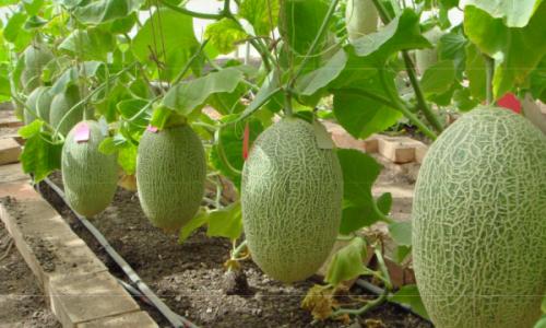 Плоды дыни в теплице