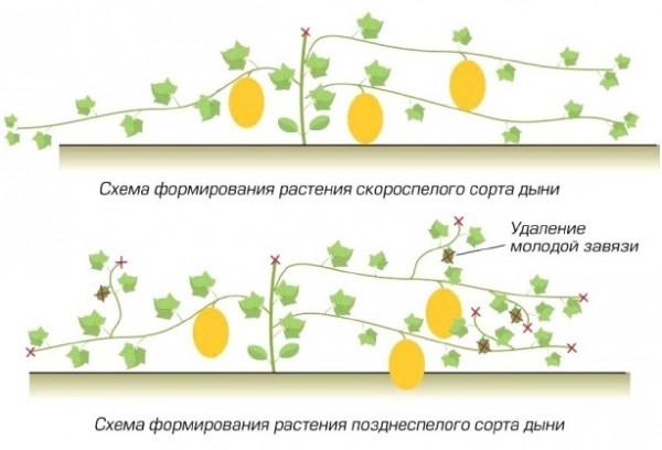 Схема формирования растений дыни