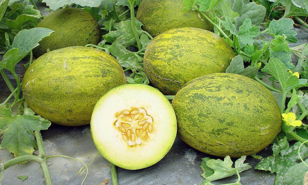 Выращивание арбуза и дыни в подмосковье 15