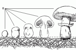 Этапы развития шампиньонов