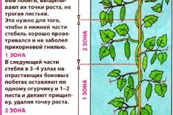 Этапы формирования огурцов в теплице.