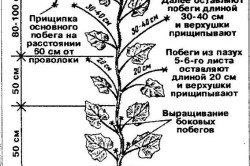 Схема формирования растений огурца