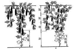 Способы формирования плети огурца в теплице