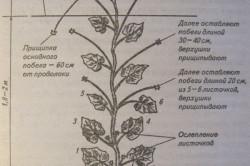 Формирование растения огурца.