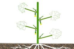 Схема корневой системы огурцов.