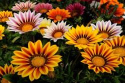 Гацания-цветок