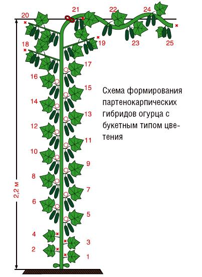 Схема формирования гибридов