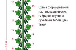 Схема формирования партенокарпических гибридов огурца с букетным типом цветения