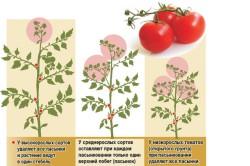 Особенности пасынкования различных видов томатов.