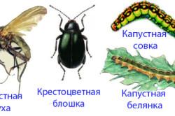 Виды насекомых-вредителей капустного листа.