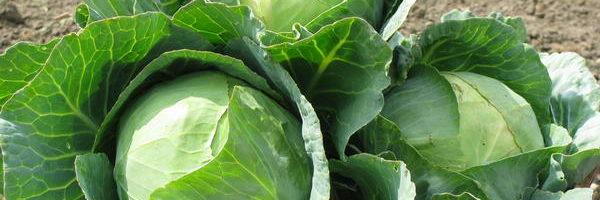 Агротехника выращивания белокочанной капусты 89