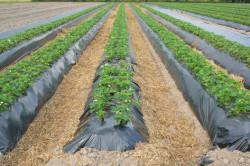 Выращивание клубники на гребне