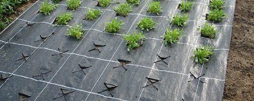 Чем хорошо выращивание клубники на пленке?