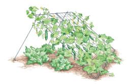 Шпалерное выращивание огурцов