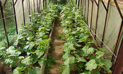 Выращивание огурцов в теплице.