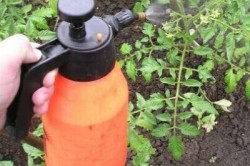 Опрыскивание помидор