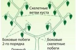 Схема формирования перцев в теплице