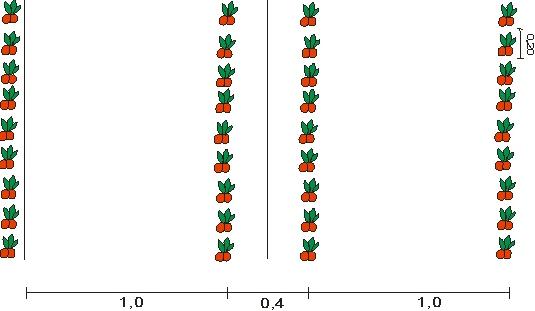 Схема посадки горького перца
