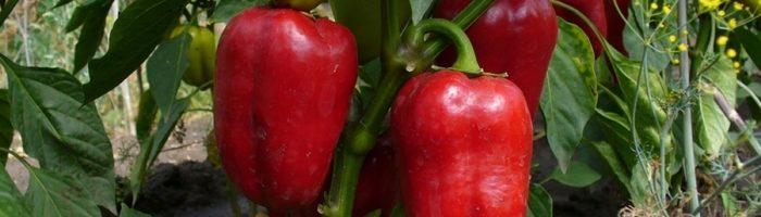 Выращивание перца в теплице: особенности
