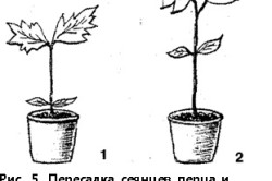 Схема пересадки сеянцев перца