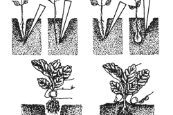 Технология пикировки томатов