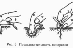 Схема пикировки сеянцев томатов
