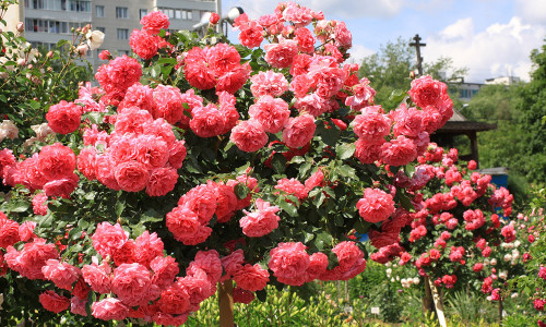 Плетистые розы
