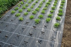 Укрытие почвы для выращивания клубники