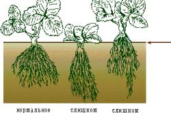 Схема глубины посадки клубники.