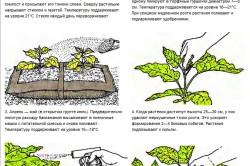 Посев и выращивание баклажанов