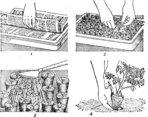 Высадка рассады помидоров в