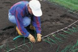 Выращивание лука из рассады