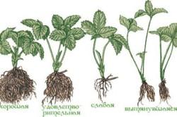 Определяем качество рассады для выращивания клубники