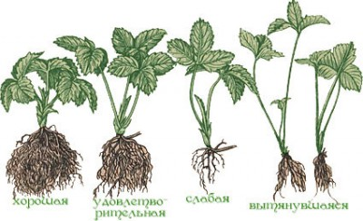 Оптимальная почва для клубники: какой она должна быть 65