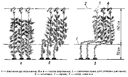 Подвязка растений томата на