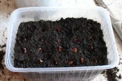 Посадка пророщенных семян ревеня в почву