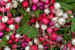 В средней полосе России редис можно выращивать и в последние зимние месяцы.